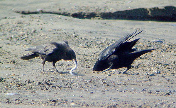 crows-feeding-on-sand-lance-by-bob-armstrong
